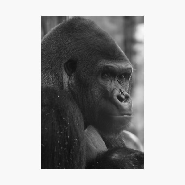 Gorilla Looking Back Photographic Print