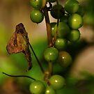 Convolvulous Berries by Paul  Eden