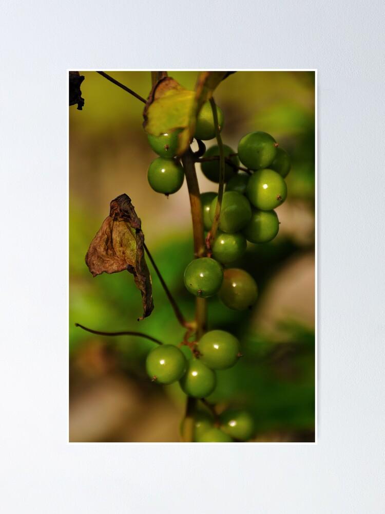 Alternate view of Convolvulous Berries Poster