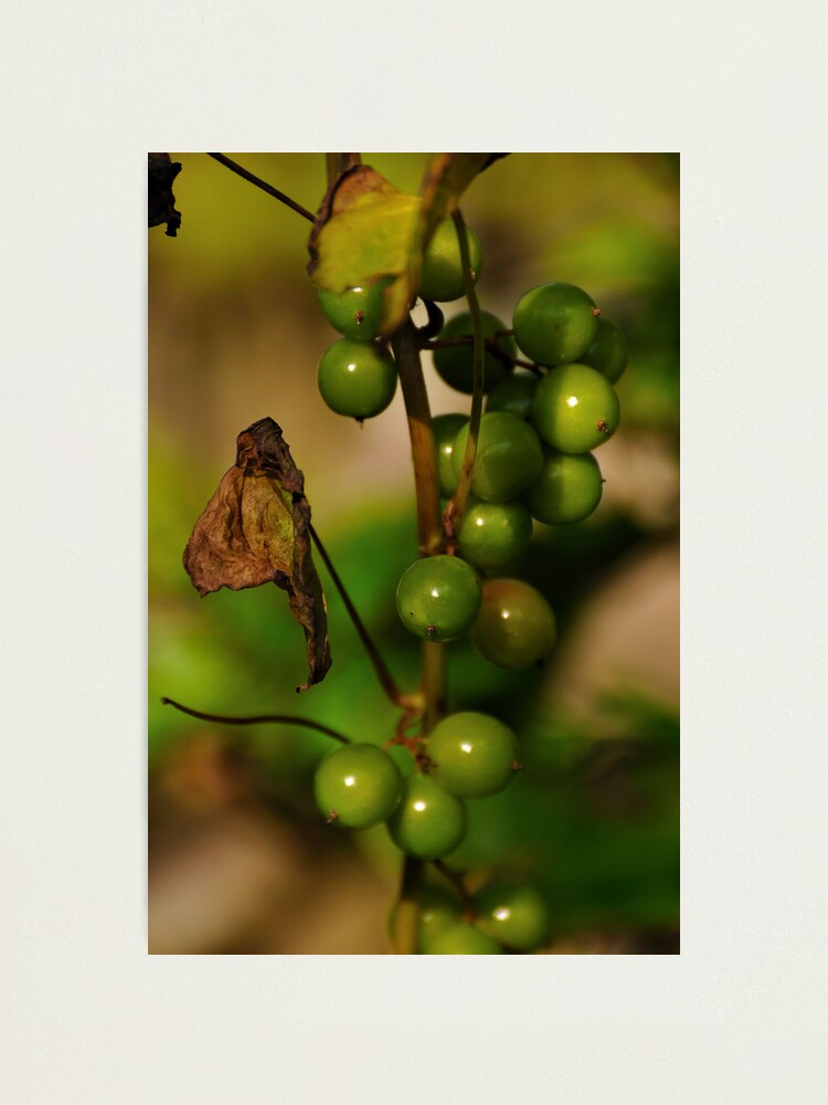 Alternate view of Convolvulous Berries Photographic Print