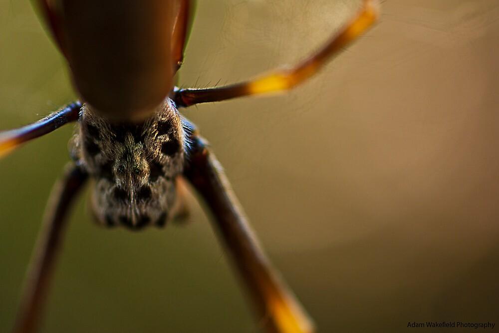 Orb Spider by Adam Wakefield