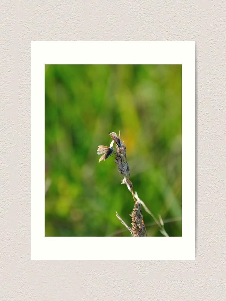 Alternate view of Common Blue Butterflies Art Print