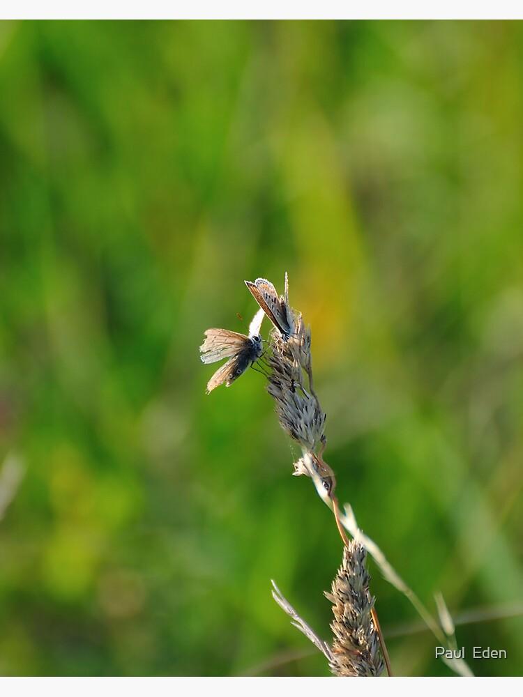 Common Blue Butterflies by pauleden