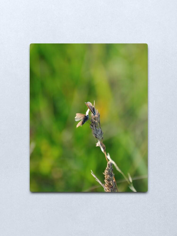 Alternate view of Common Blue Butterflies Metal Print