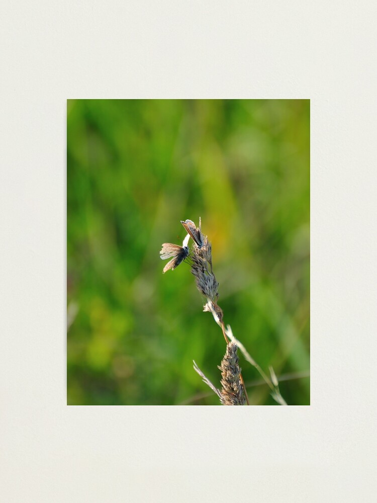 Alternate view of Common Blue Butterflies Photographic Print
