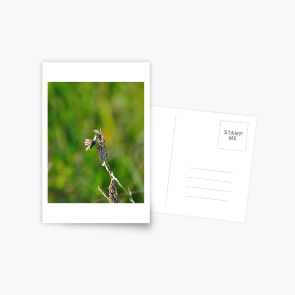 Common Blue Butterflies Postcard