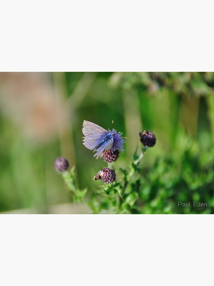 Common Blue Butterfly by pauleden