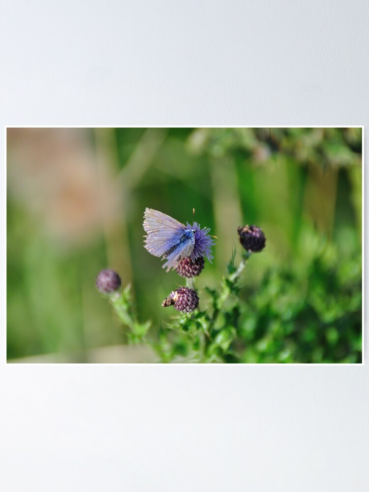 Alternate view of Common Blue Butterfly Poster