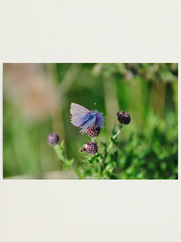 Alternate view of Common Blue Butterfly Photographic Print