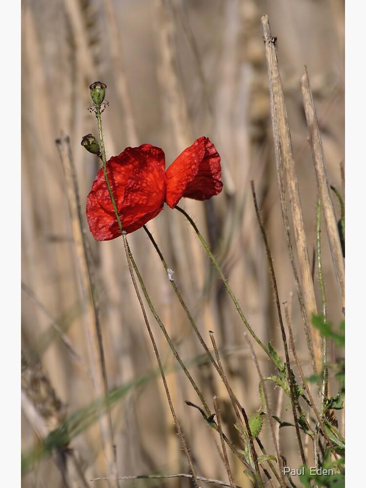 Poppy In Field by pauleden