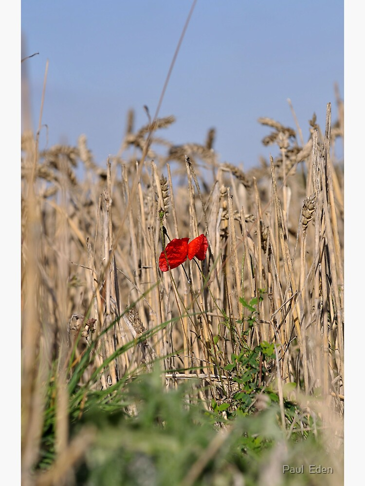Poppy In Field #2 by pauleden