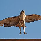 090410 Red Tailed Hawk by Marvin Collins