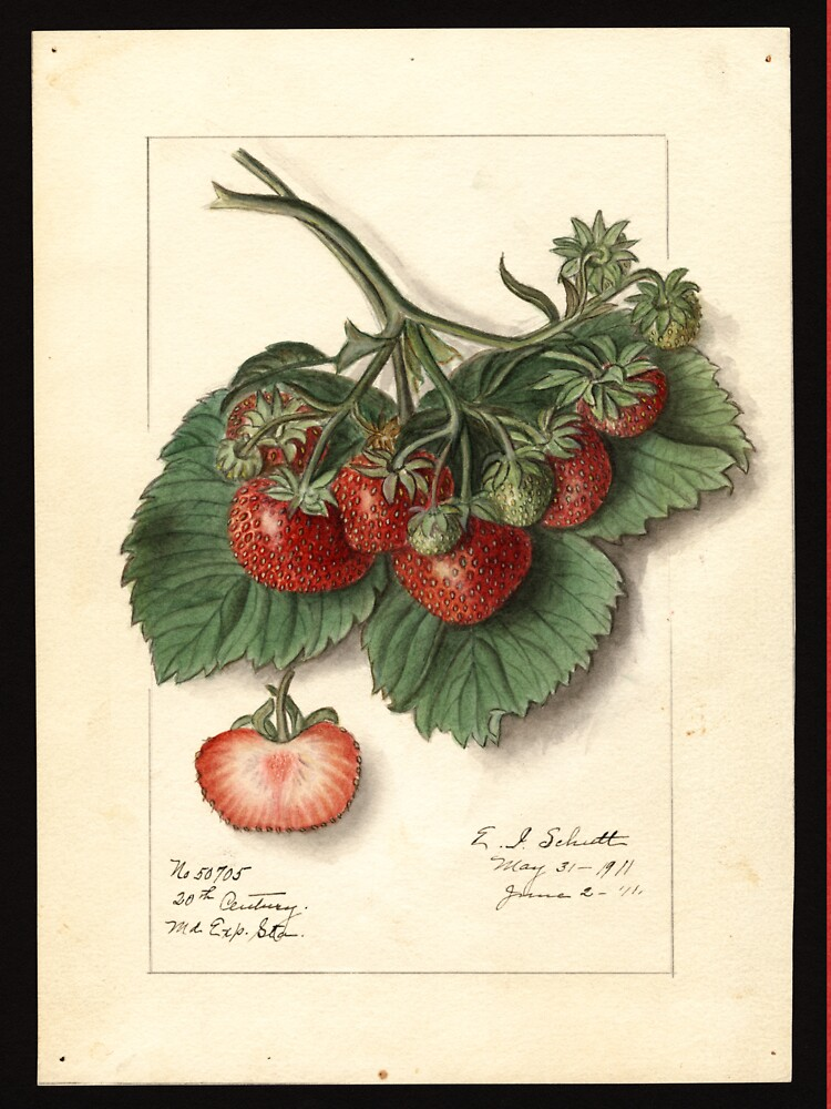 Vintage Strawberries by douglasewelch