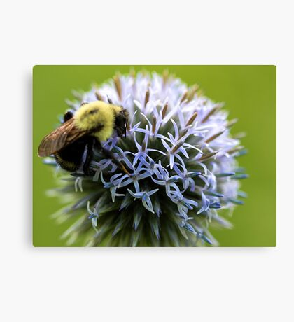 Bumble Bee - Globe Thistle Canvas Print