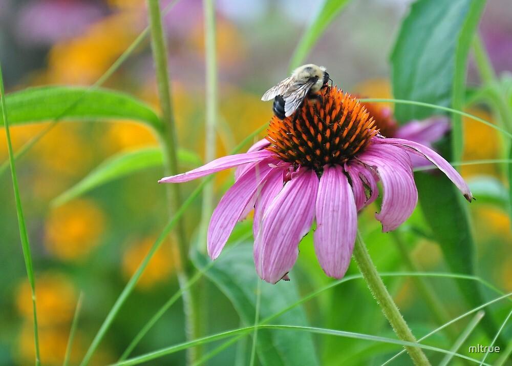 Bee on coneflower by mltrue