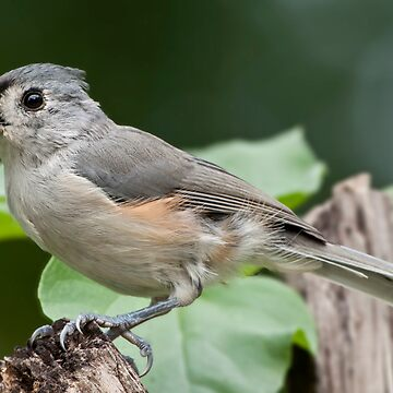 Tidbit for aTufted Titmouse by Miracles