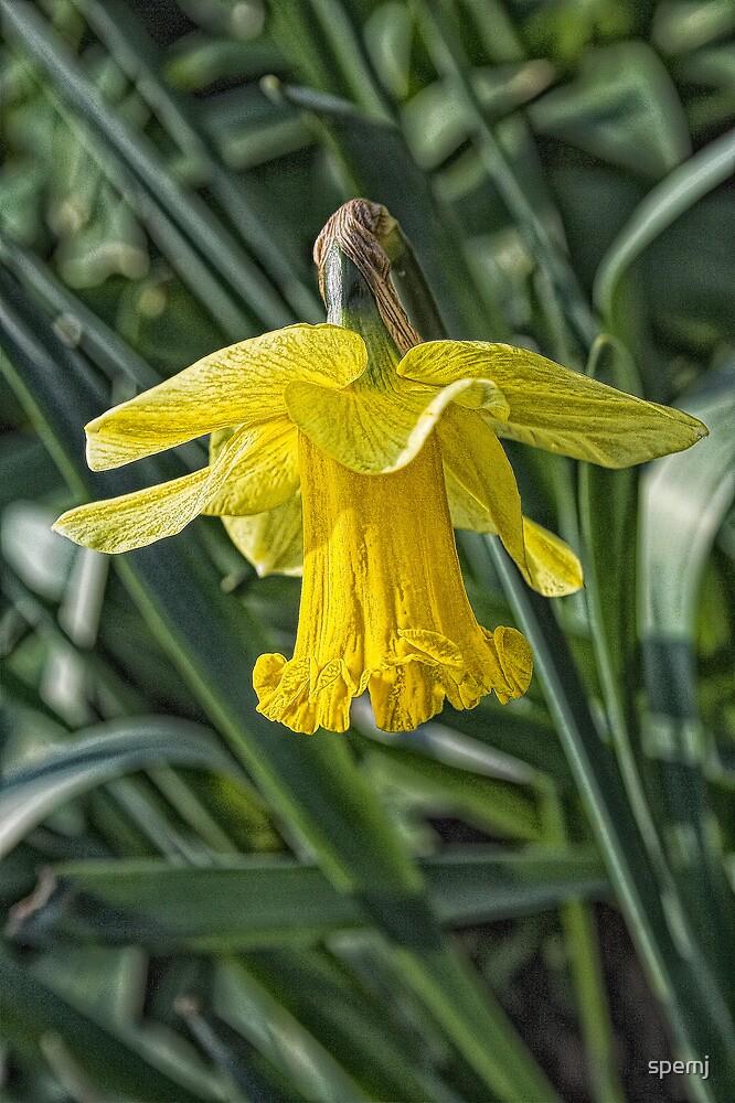 daffodil l by spemj