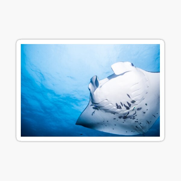 Cute Manta ray swimming in the blue ocean Sticker