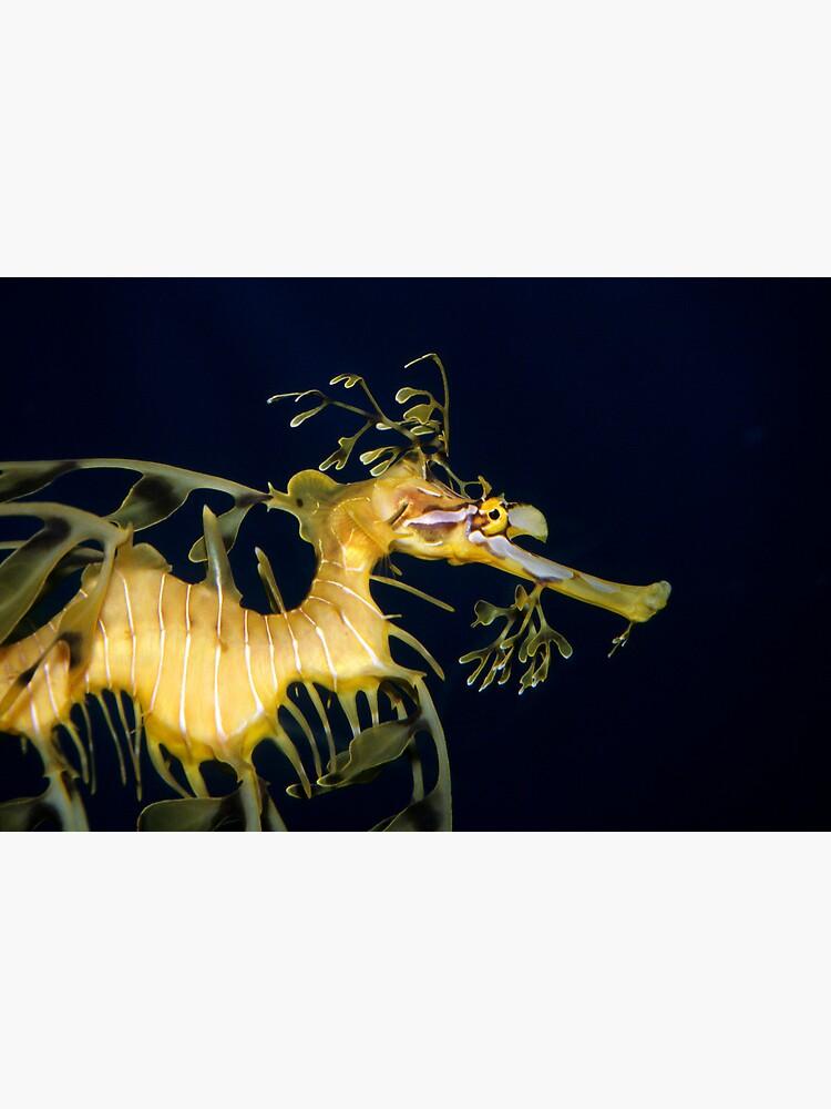 Leafy sea dragon by DavidWachenfeld