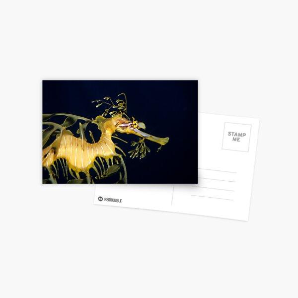 Leafy sea dragon Postcard
