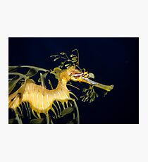 Leafy sea dragon Photographic Print