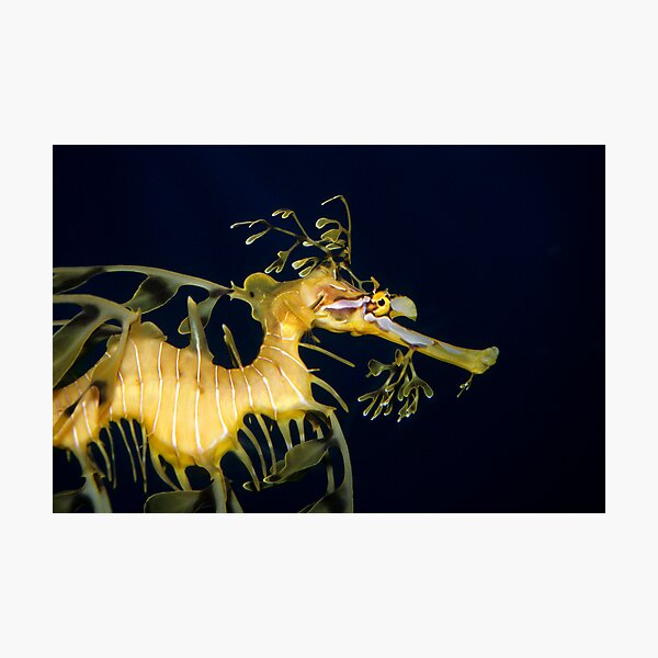Leafy sea dragon Photographic Print