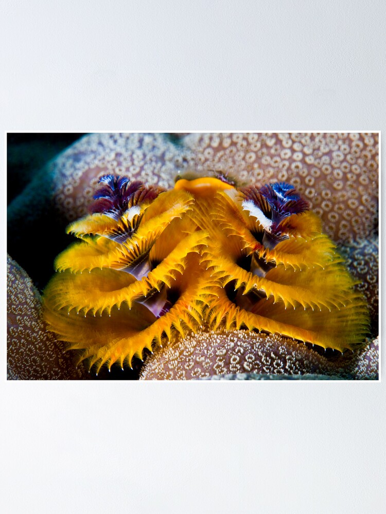 Alternate view of Christmas tree worm Poster