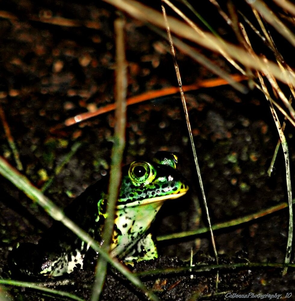A Little Froggy by Colleen Rohrbaugh