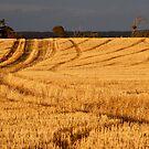 """golden stubble"", near Warooka, Southern Yorke Peninsula by bally58"