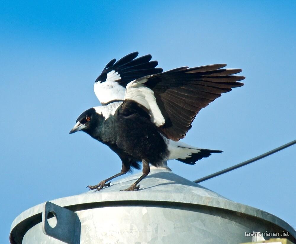 Australian Magpie by tasmanianartist