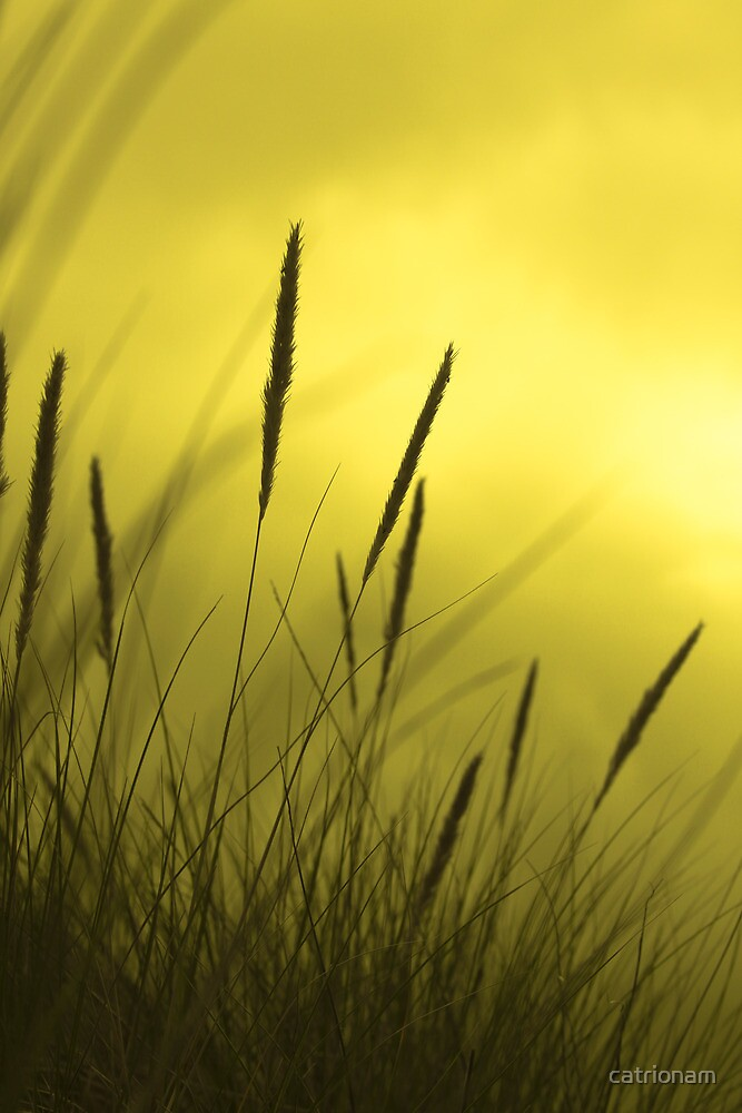 Golden grass by catrionam