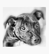 Marley The Staffordshire Bull Terrier Photographic Print