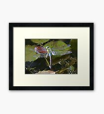 dragonfly waiting on the river Framed Print