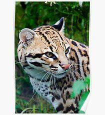 Portrait Of An Ocelot  - (Leopardus pardalis) Poster