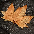 leaf study by Dave Milnes