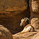 Big Horn Sheep  by Justin Baer
