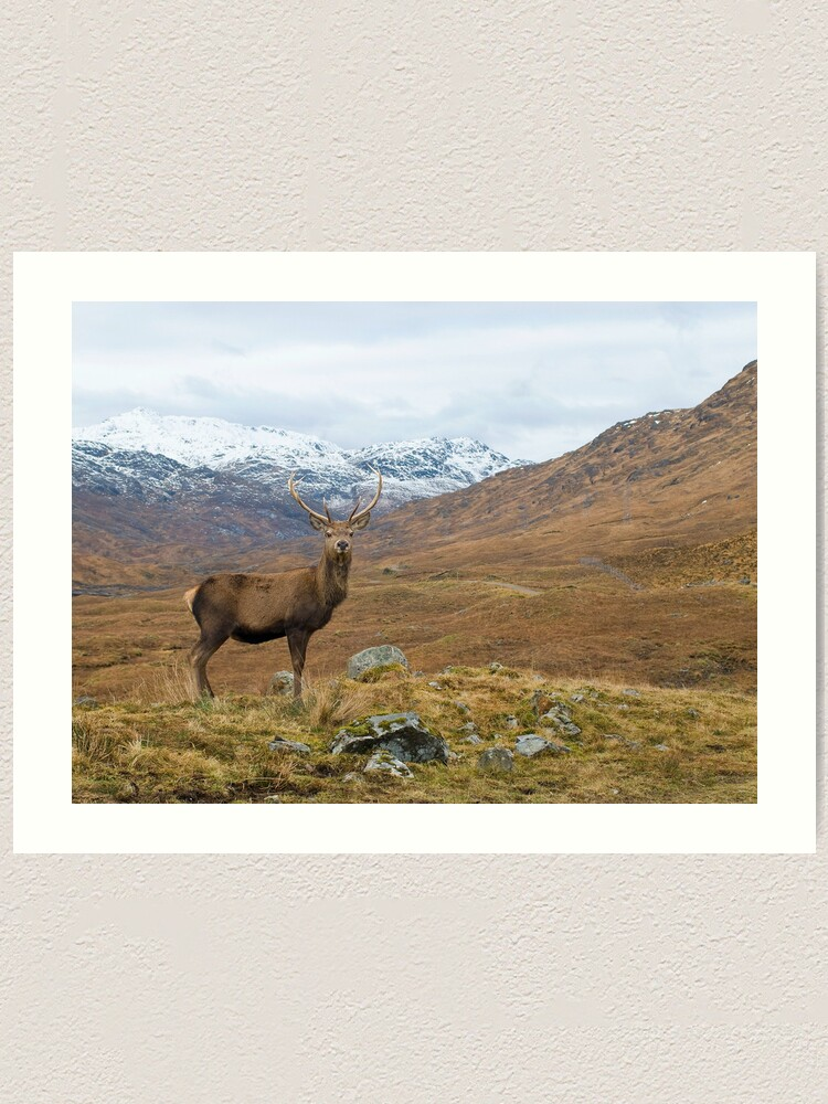 Highland Stag in the Scottish Mountains Framed Print