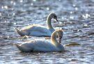 Mute Swans Swimming by Nigel Bangert
