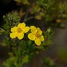 Shrub Cinquefoil by Mike Oxley
