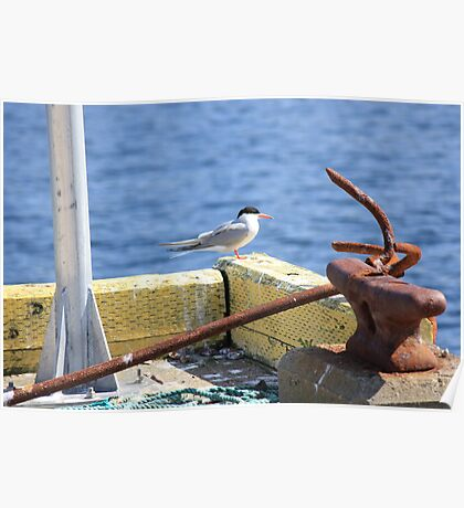 Sitting On The Dock Of The Bay - Arctic Tern Poster