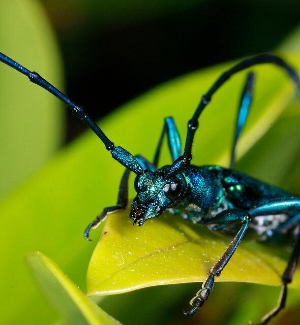 Emerald Longhorn Beetle (3) by Etwin