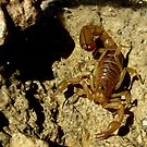 Stripe-tailed Scorpion by Kimberly Chadwick