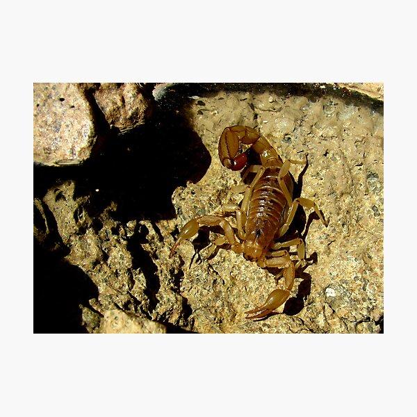 Stripe-tailed Scorpion Photographic Print