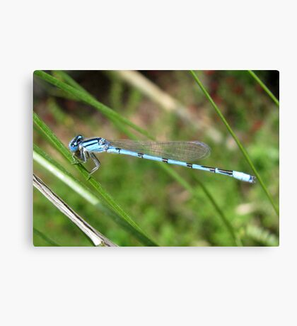 DameselFly ~ Familiar Bluet (Male) Canvas Print
