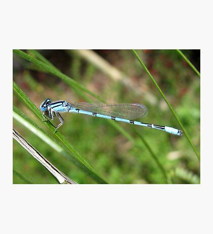 DameselFly ~ Familiar Bluet (Male) Photographic Print