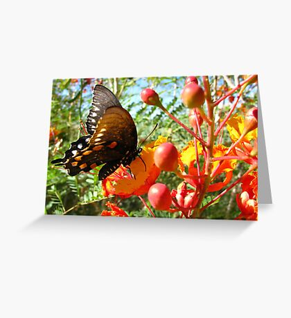 Butterfly ~ Pipevine Swallowtail II Greeting Card