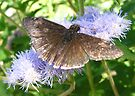Butterfly ~ Funereal Duskywing by Kimberly Chadwick