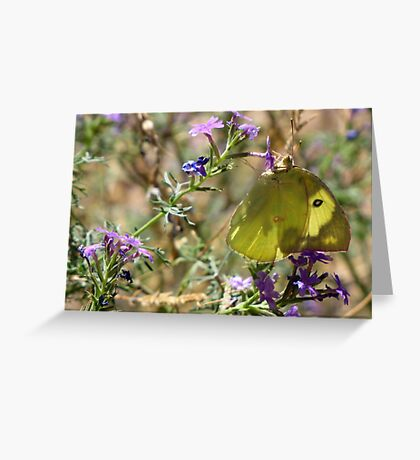 Butterfly ~ Southern Dogface II  Greeting Card
