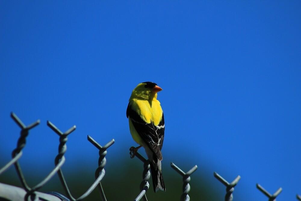 American Goldfinch on a Fence by rhamm