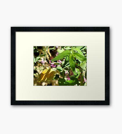 Butterfly ~ Sleepy Orange Framed Print